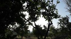 Sun and orange trees (2) Stock Footage