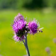 bee feeding on thistle flower in backlit - stock photo