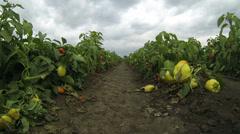 Pepper Plantation Stock Footage