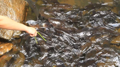 Mahseer barb Stock Footage