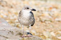 young gull - stock photo