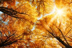The autumn sun shining through golden treetops Stock Photos