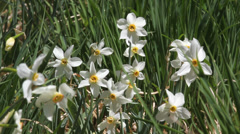 Wild narcissus glades move in spring breeze Stock Footage