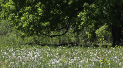 Beautiful spring meadow, flourish daffodils plain Stock Footage