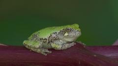 Gray Treefrog (Hyla versicolor) 7 Stock Footage