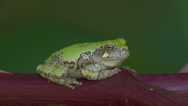 Stock Video Footage of Gray Treefrog (Hyla versicolor) 7