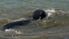 Elephant Seals Wrestling Stock Footage