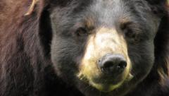 North American Black Bear seen up close Stock Footage