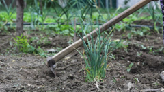 Agriculture scenery, Spade hoe vegetable garden, fresh onion Stock Footage