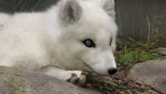 Blue Eyed Blind Arctic Fox Stock Footage