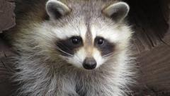 Beautiful North American Racoon Close up Stock Footage