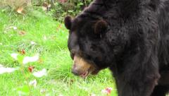 North American Black Bear going for a stroll Stock Footage