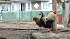Cock and chicken in bird courtyard in front of old rural house - stock footage
