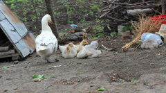 Baby goose stay together and mother goose stay near them Stock Footage