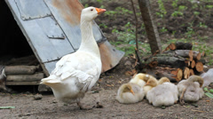 Aggressive goose protect baby goose - stock footage