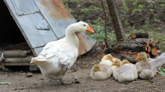 Baby goose and mother goose stay together in courtyard Stock Footage