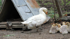 Mother goose and their baby goose in a village enclosure Stock Footage