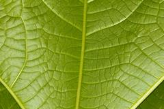 Background of green leaf. macro Stock Photos