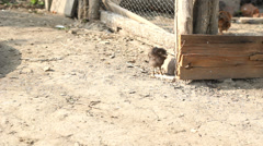 One baby chicken outside the enclosure from baby chickens Stock Footage