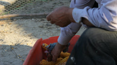 Traditional way to shell the grains from corn cub, peasant hand working Stock Footage