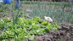 Little gosling, baby goose, feeding with green salad in vegetable yard Stock Footage