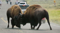 Two Buffalo (Bison) Fighting For Dominance in Yellowstone - stock footage