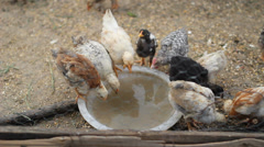 Baby chicken drink water together from a spot Stock Footage