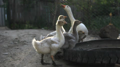 Many baby goose with mother goose drink water together from a broken tire Stock Footage