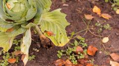 The heads of cabbage in the garden Stock Footage