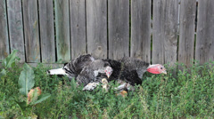 Turkey hen with turkey cock rest with turkey baby in weed near a wooden fence Stock Footage