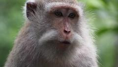 Close Up of a Wild Rhesus Monkey in Natural Setting Stock Footage
