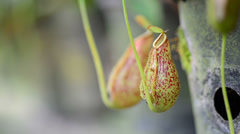 Nepenthes Stock Footage