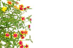 Portulaca flower isolated on white background Stock Photos