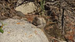 Cute Chipmunk on a Rock Scratching Fleas and Grooming Stock Footage