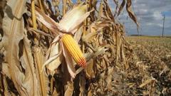 Corn Cob in a Field - stock footage