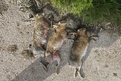 three dead hares in the grass - stock photo