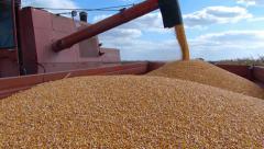 Stock Video Footage of Corn harvest, Combine in action