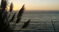 Pampas Grass at Sunset - stock footage