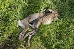 two dead hares after the hunt - stock photo