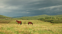 Horses graze in a pasture - stock footage