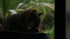 Cat grooms himself, rain in background Stock Footage