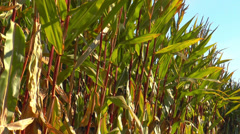 Corn (maize) plants swaying in the wind Stock Footage
