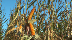 Corn (maize) plants closeup Stock Footage