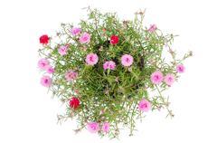 Portulaca flower i Stock Photos