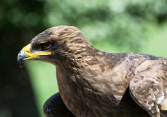 the tawny eagle (aquila rapax) - stock photo