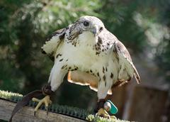 Saker falcon (falco cherrug) watching prey Stock Photos