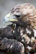 profile of a golden eagle (aquila chrysaetos) - stock photo