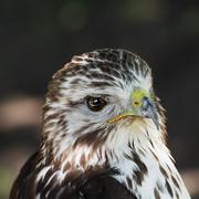 portrait of a red-tailed hawk (buteo jamaicensis) - stock photo