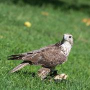 saker falcon (falco cherrug) portrait - stock photo