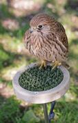 Common kestrel on a perch Stock Photos
